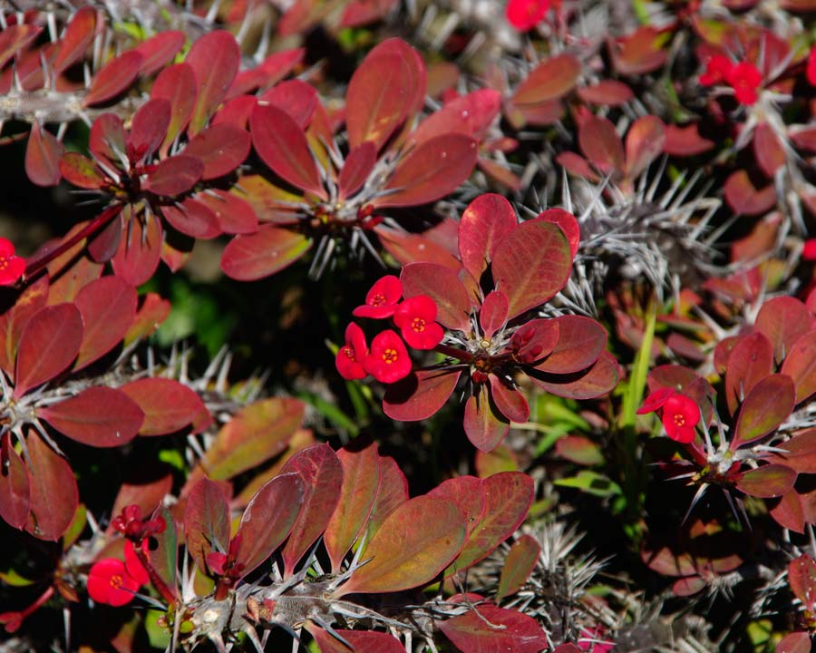 Euphorbia milli var millii - bronze leaves and red bracts