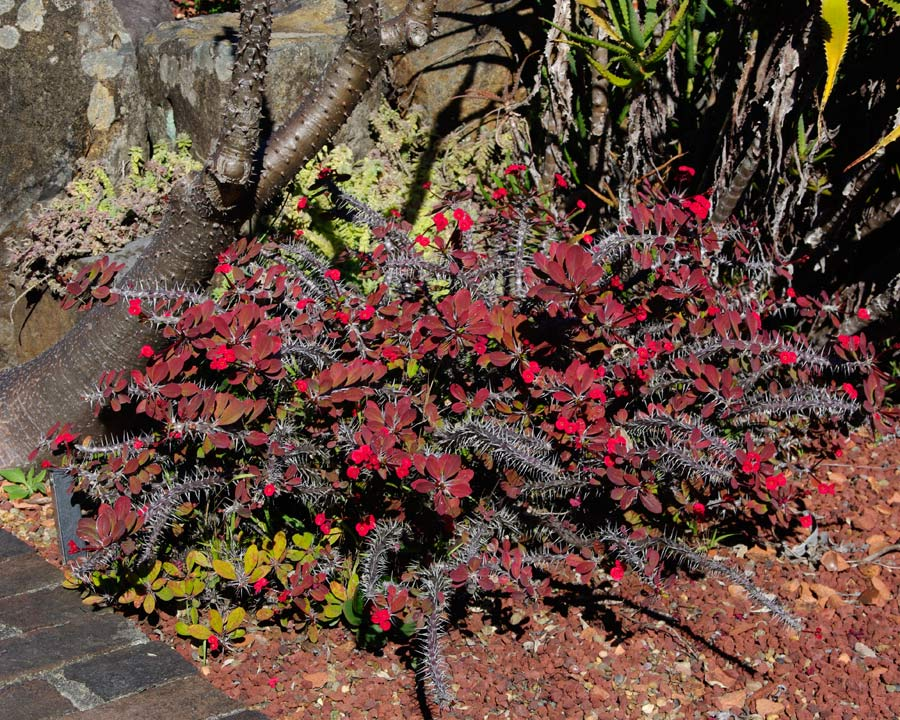 Euphorbia milli var. Milli
