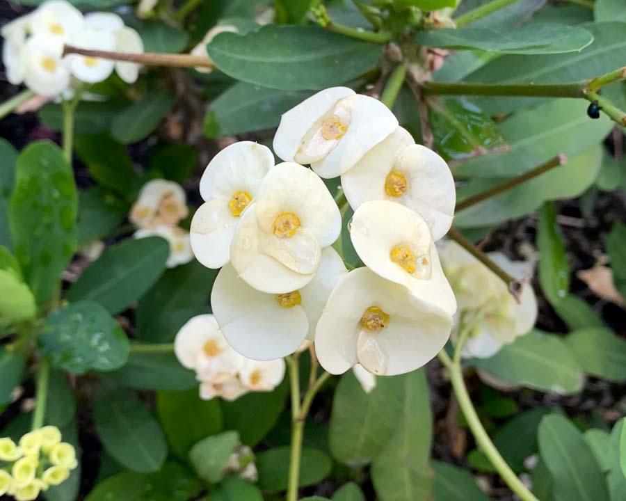 Euphorbia milli, white form