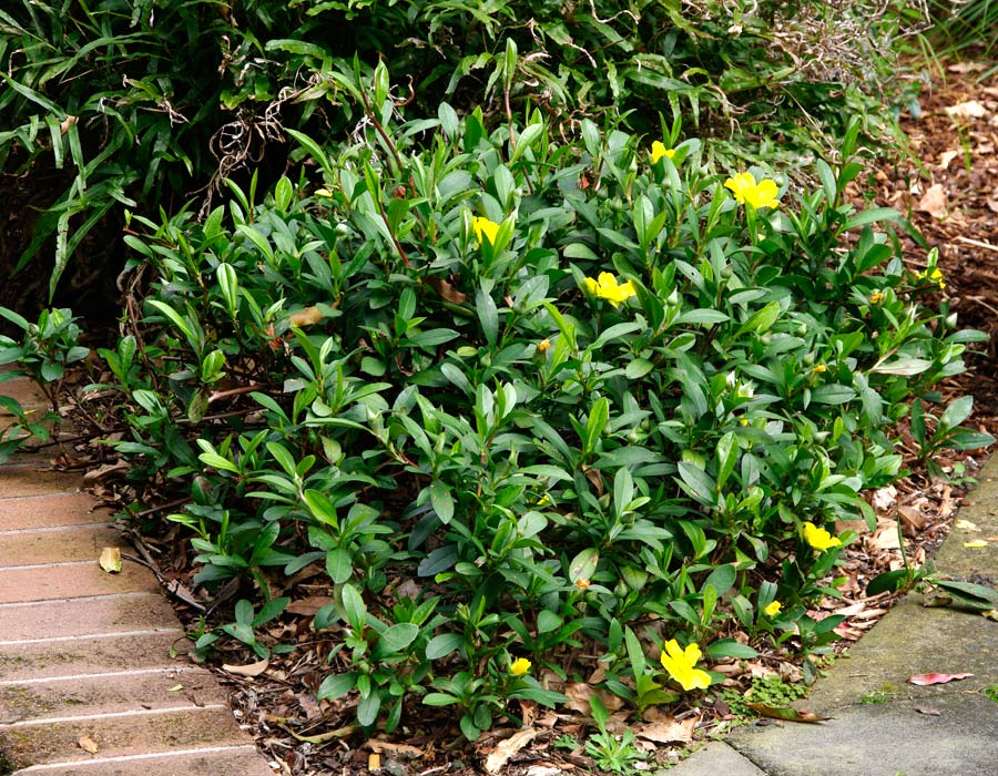 Hibbertia scandens - low growing ground cover