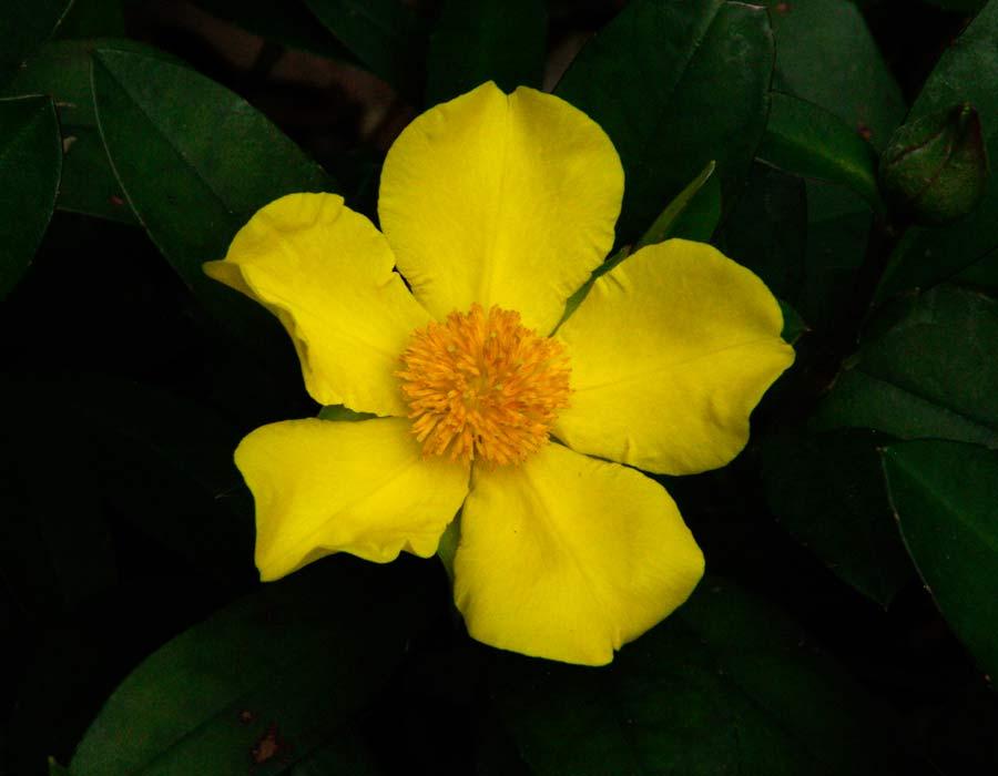 Open yellow flowers of Hibbertia scandens
