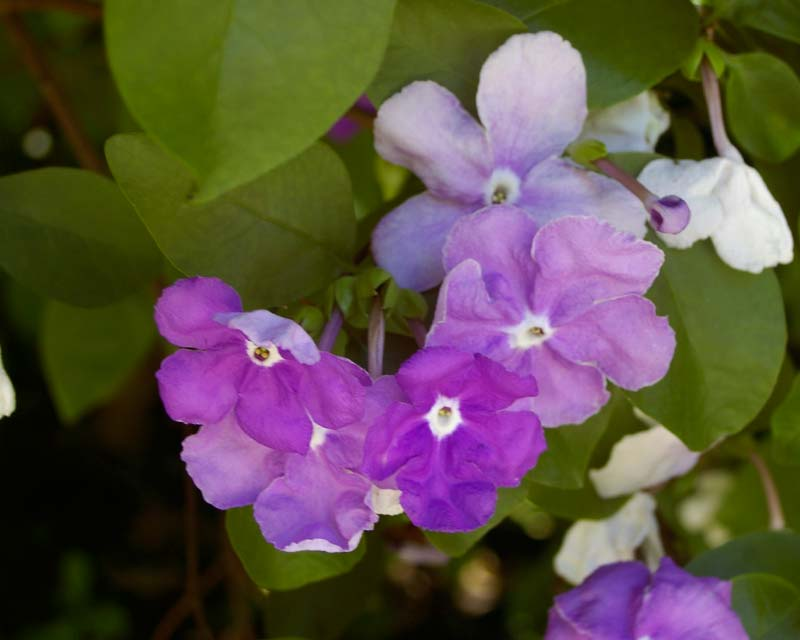 Brunfelsia australis - the flowers change from white to purple over a few days
