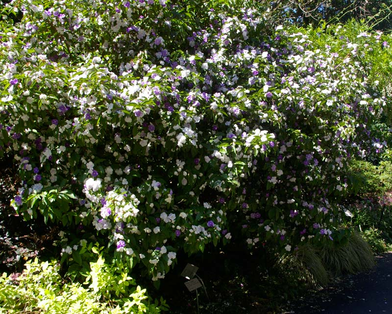 Brunfelsia australis - a medium sized shrub with white to mauve flowers in spring.  Sydney Botanical Gardens