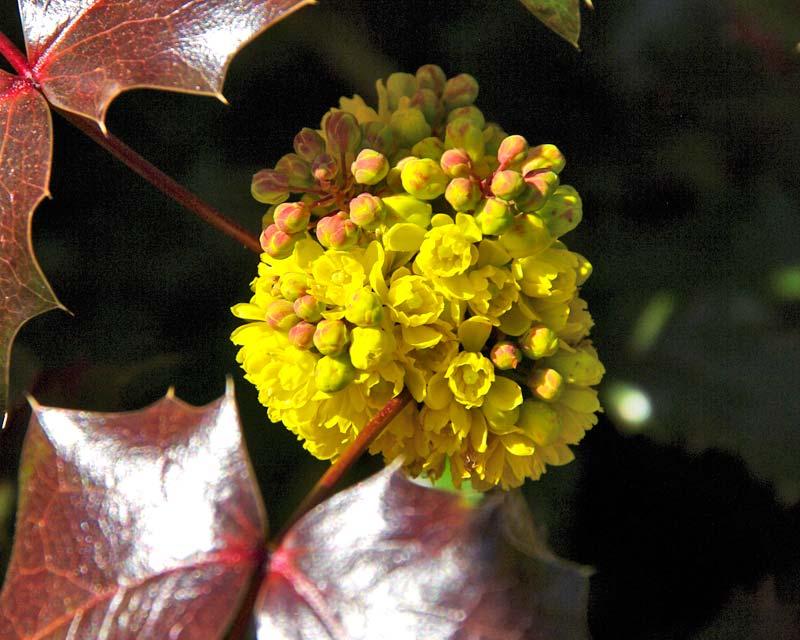 Mahonia aquifolium 'Atropurpurea'