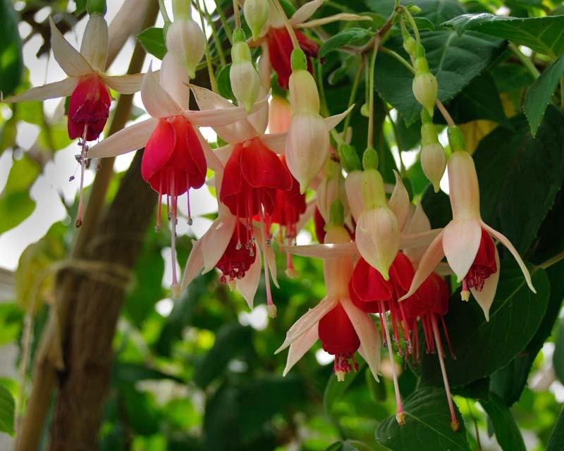 Fuchsia x hybrida