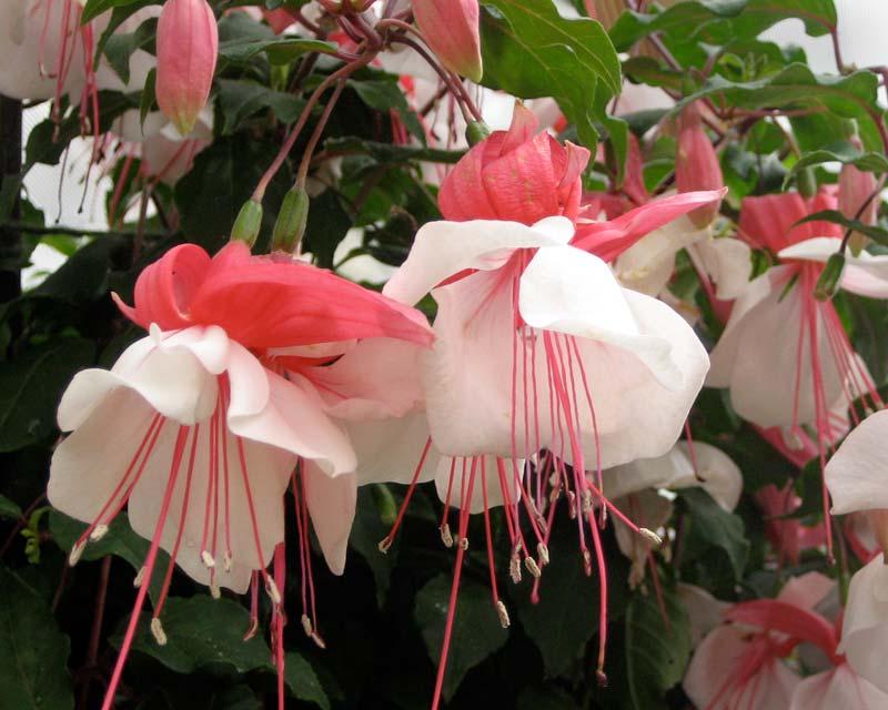 Fuchsia x hybrida has salmon pink and white flowers