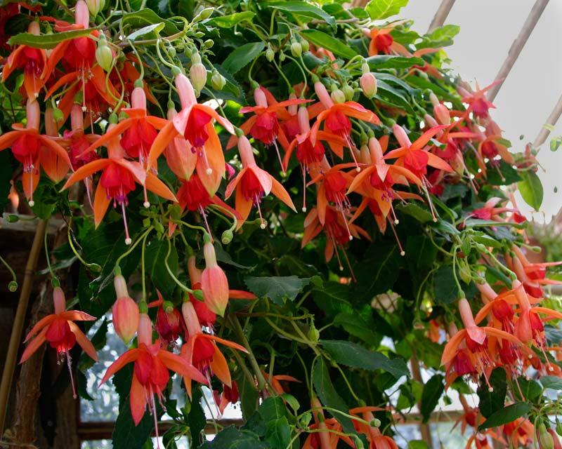 Fuchsia - a trailing hybrid