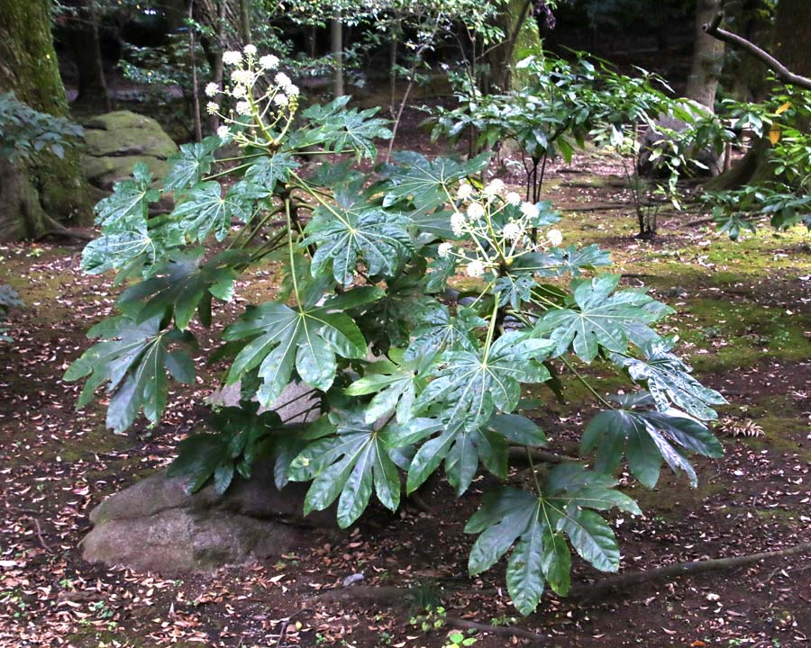 Fatsia japonica in its natural woodland environment