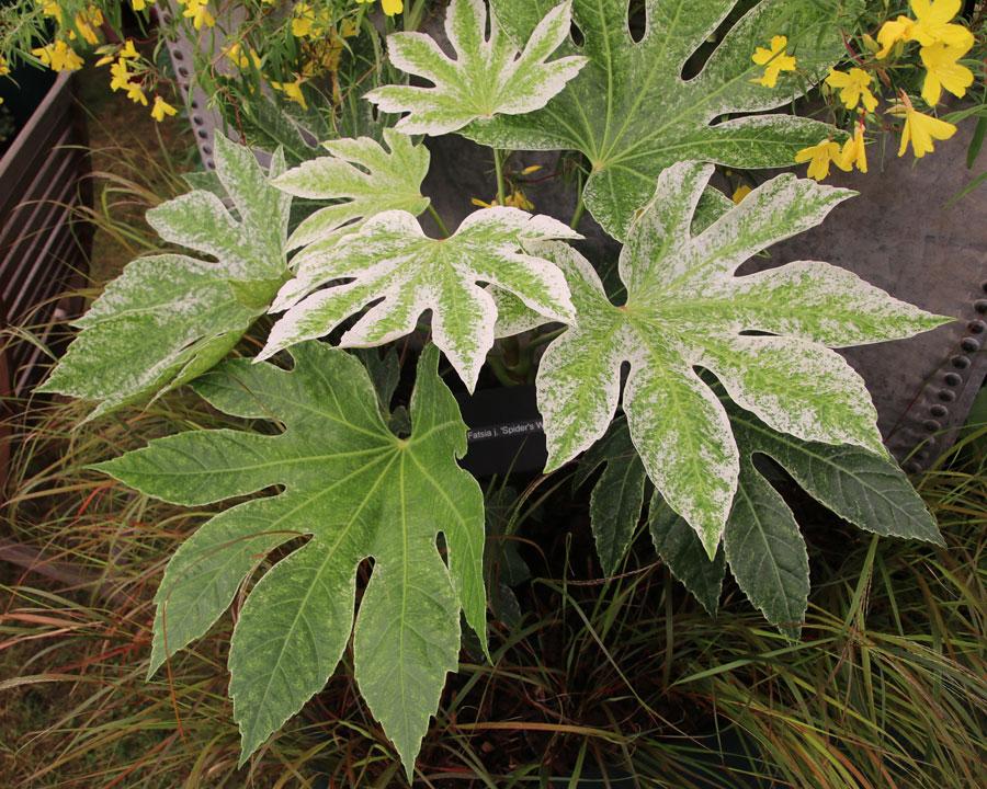 Fatsia japonica 'SpidersWeb'
