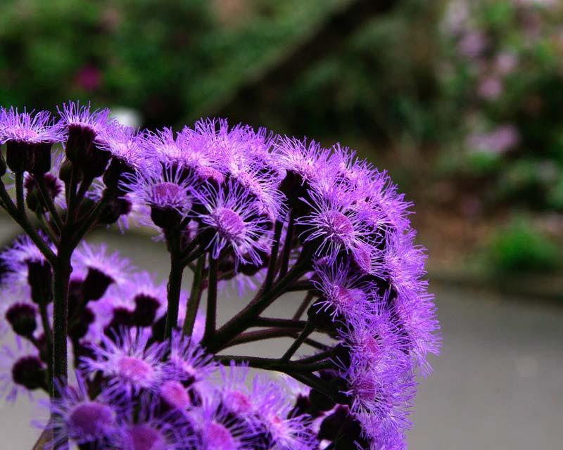Bartlettina sordida - attractive fluffy purple flowers