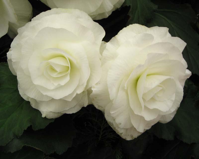 Begonia tuberhybrida - Lancelot large white double flowers
