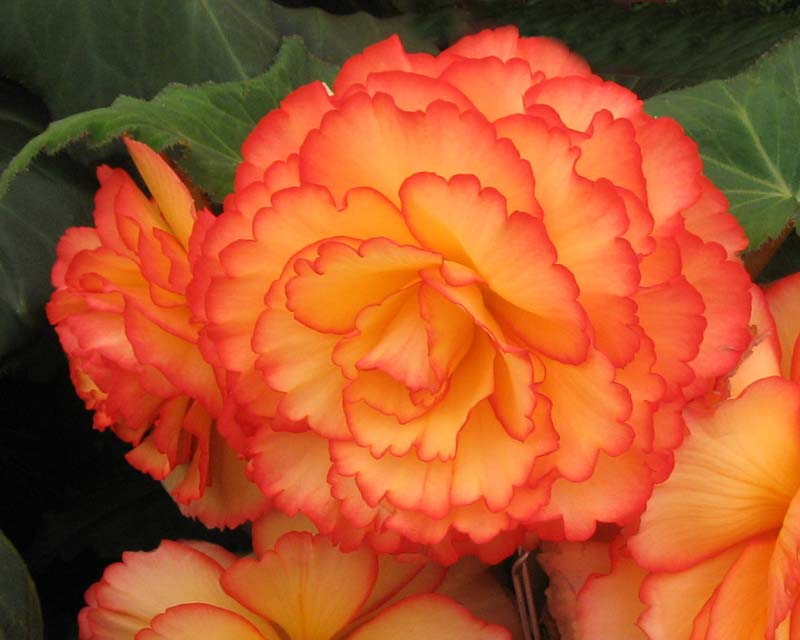 Begonia tuberhybrida Party Dress - large double flowers with yellow with red margins
