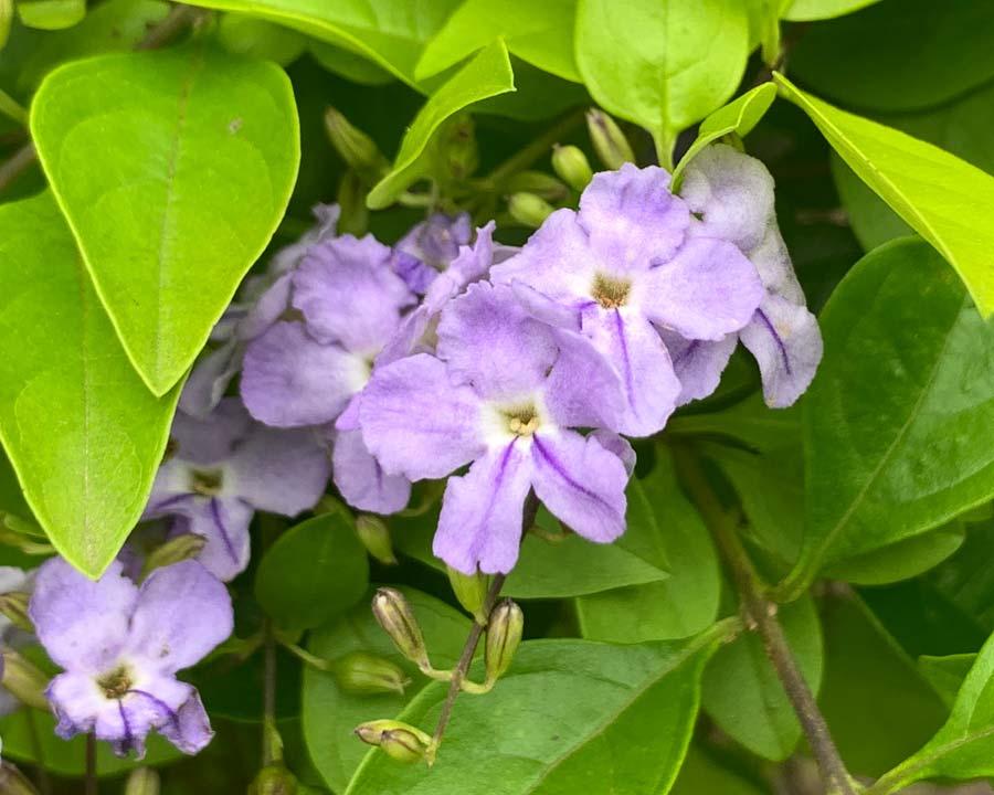 Duranta erecta flowers