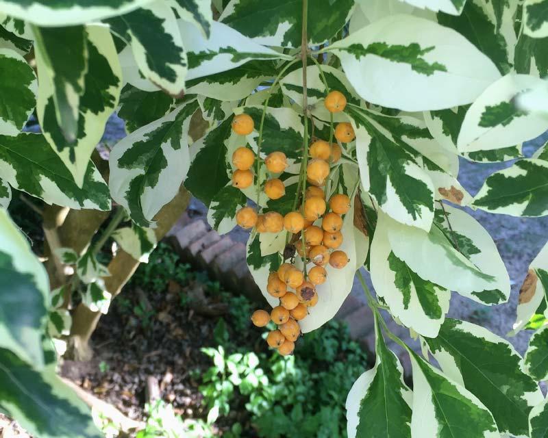 Duranta repens 'Variegata' - leaves cream margins orange/yellow fruit