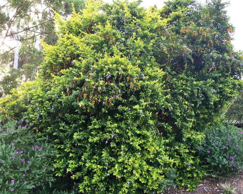 Duranta repens also known as Duranta erecta - large bushy shrub