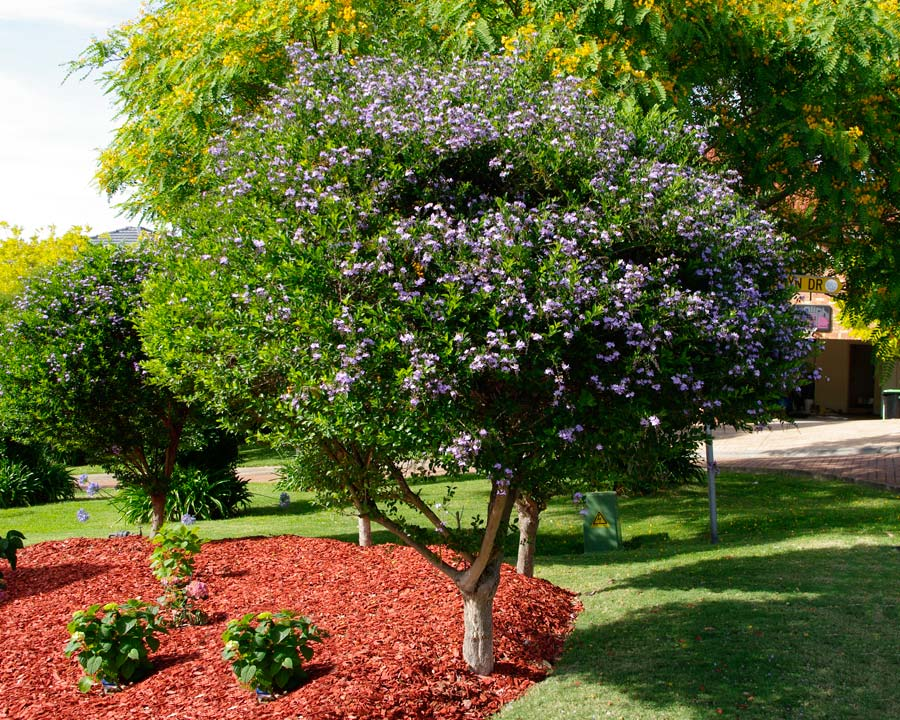 Gardensonline Duranta Repens Syn D Erecta