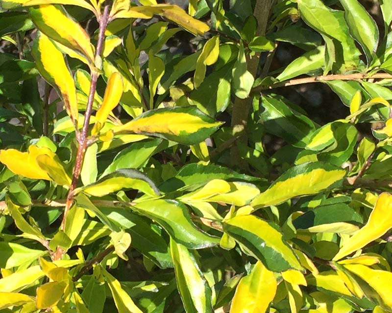 Duranta repens 'Aussie 2000' - variegated yellow and green foliage