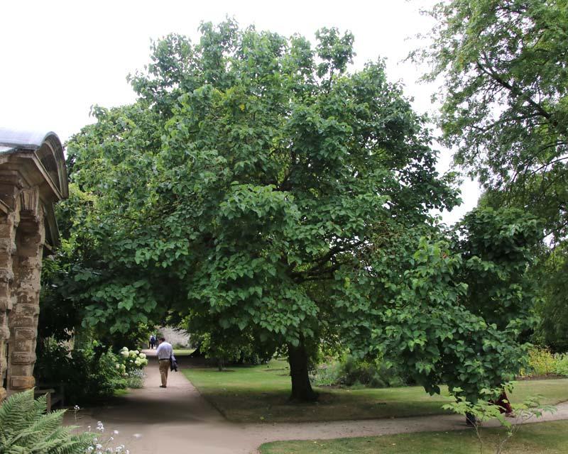 Morus nigra, the Black Mulberry, at Oxford Botanic Gardens, UK