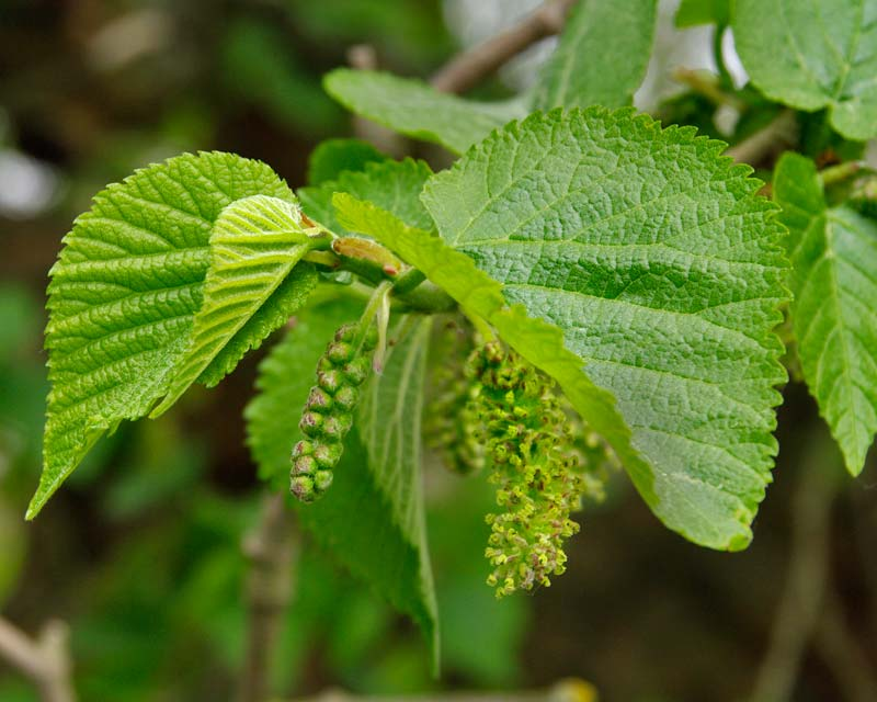Spring flowers of Mulberry Tree