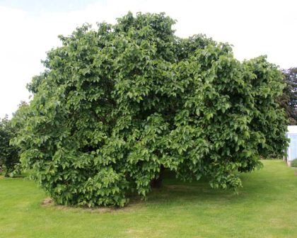 a8ae6bc248 Morus nigra, Black Mulberry as seen at RHS Wisley, Surrey, UK