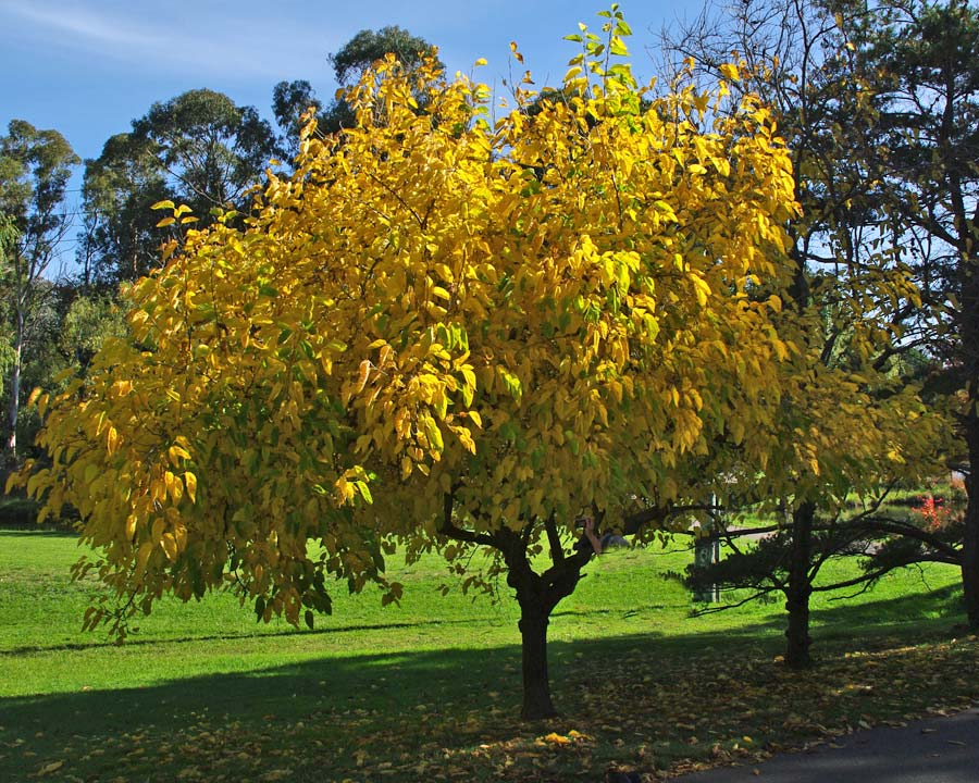 Yellow leaves in autumn - Morus nigra, Mulberry, Canberra