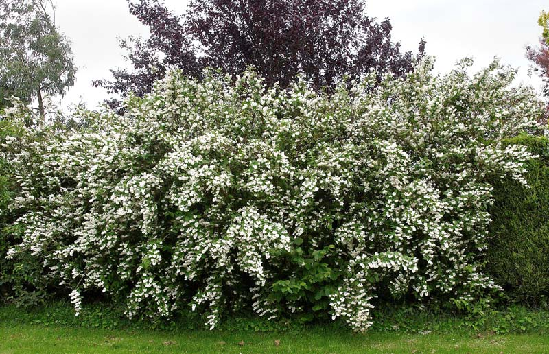 Deutzia scabra - Wedding Bells  photo Wouter Hagens