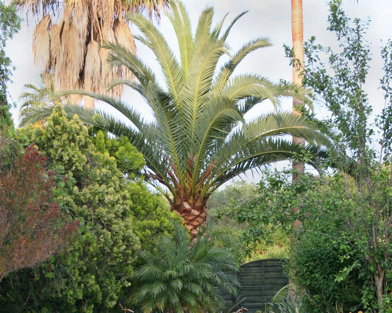 Pheonix canariensis - suitable for mid to larger gardens