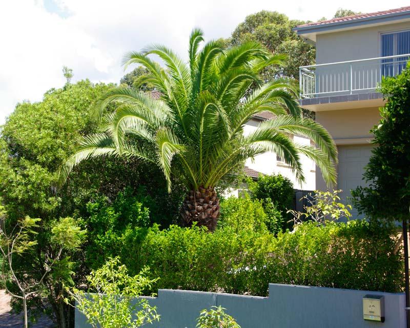 Canary Island Date Palm, Phoenix canariensis