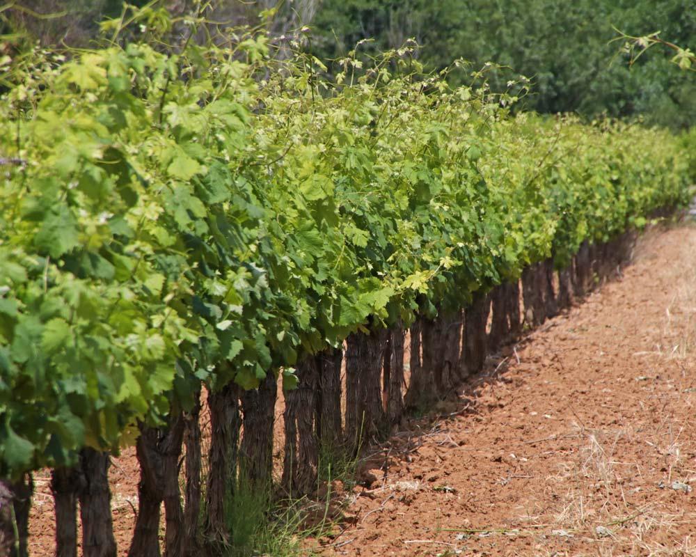 Vitis vinifera, Grape Vine