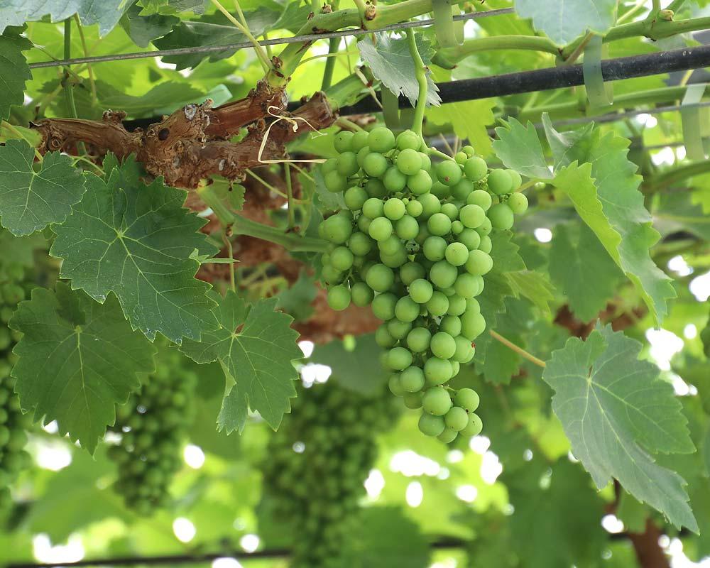 Vitis vinifera - a variety of indoor dessert grape