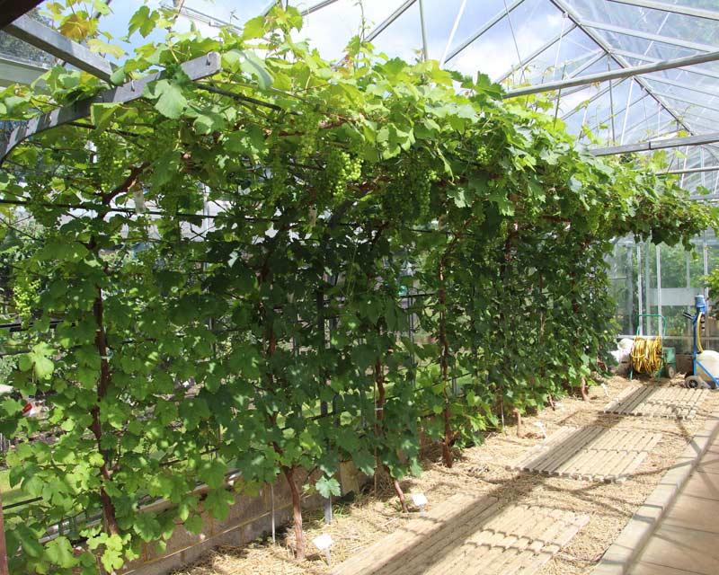 Vitis vinifera - a variety of indoor dessert grape grown at Kew Gardens, London