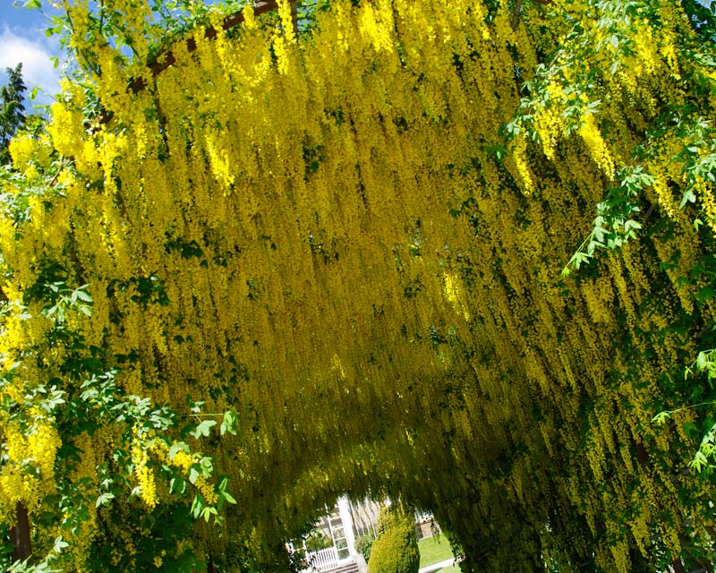 The Laburnum Arch - Chatsworth House Estate