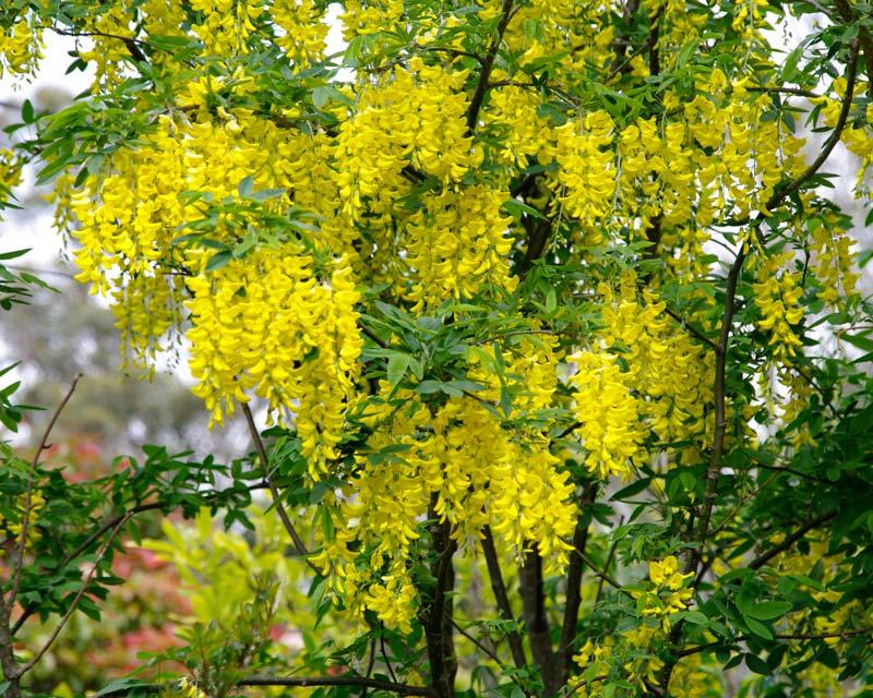 GardensOnline Laburnum Anagyroides