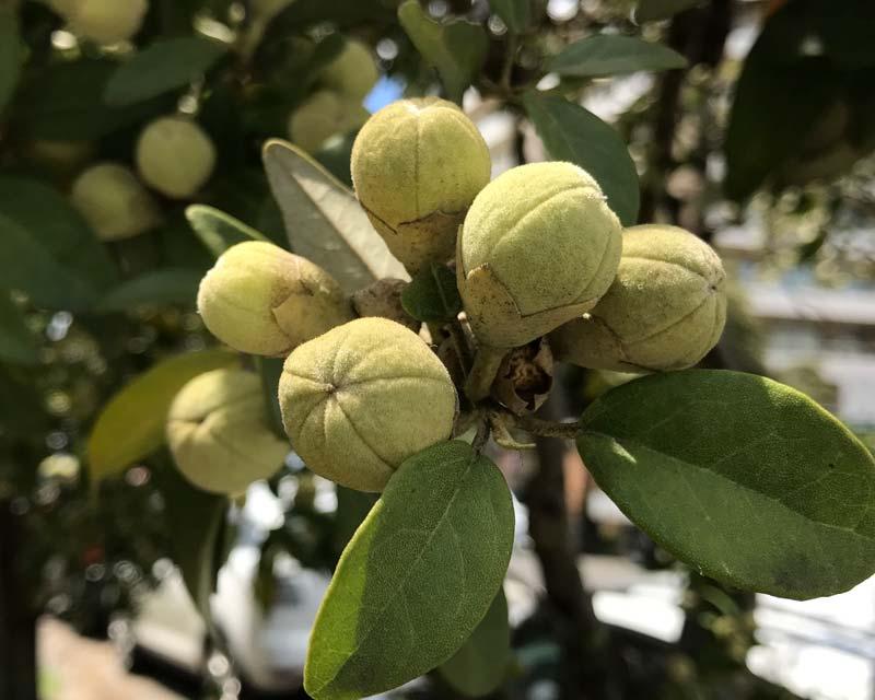 Lagunaria patersonia fruit
