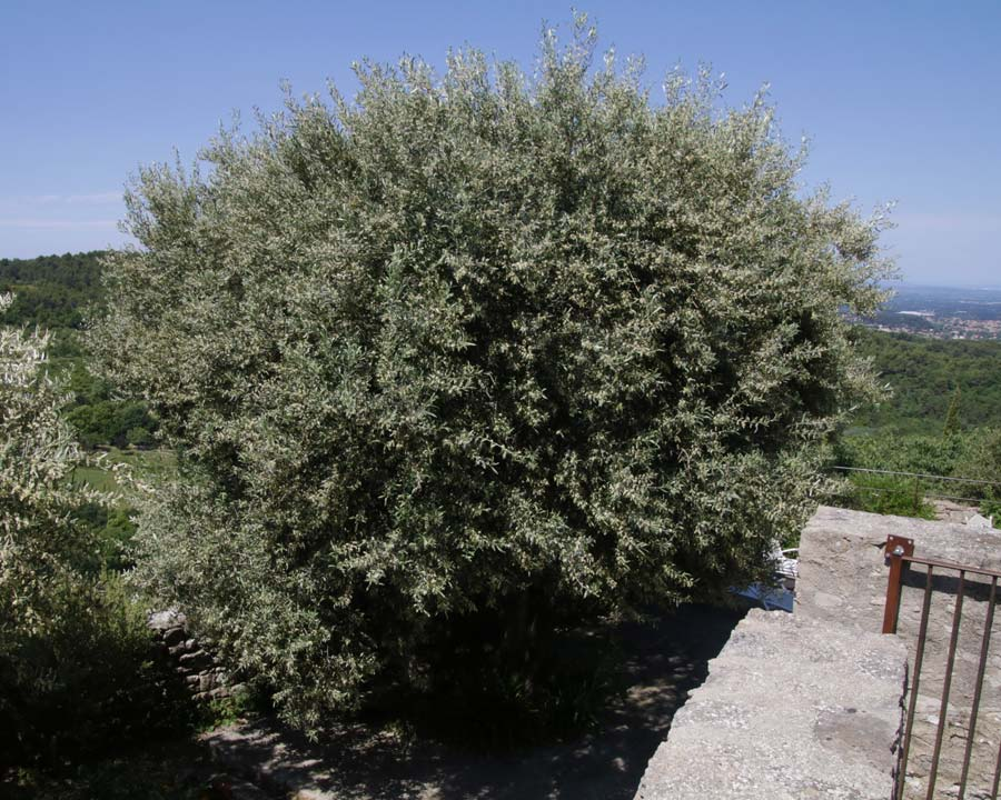 Olea europa - the Olive tree