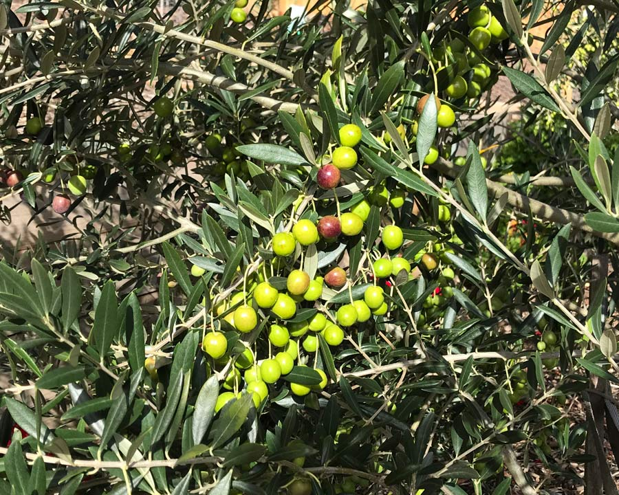 Fruiting Olive tree - the fruit gradually turns black as it ripens