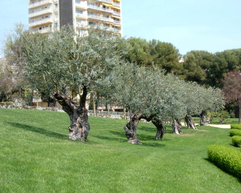 Olea europaea - the olive tree, as seen here in the centre of Barcelona,photo by Arturo Reina Sánchez