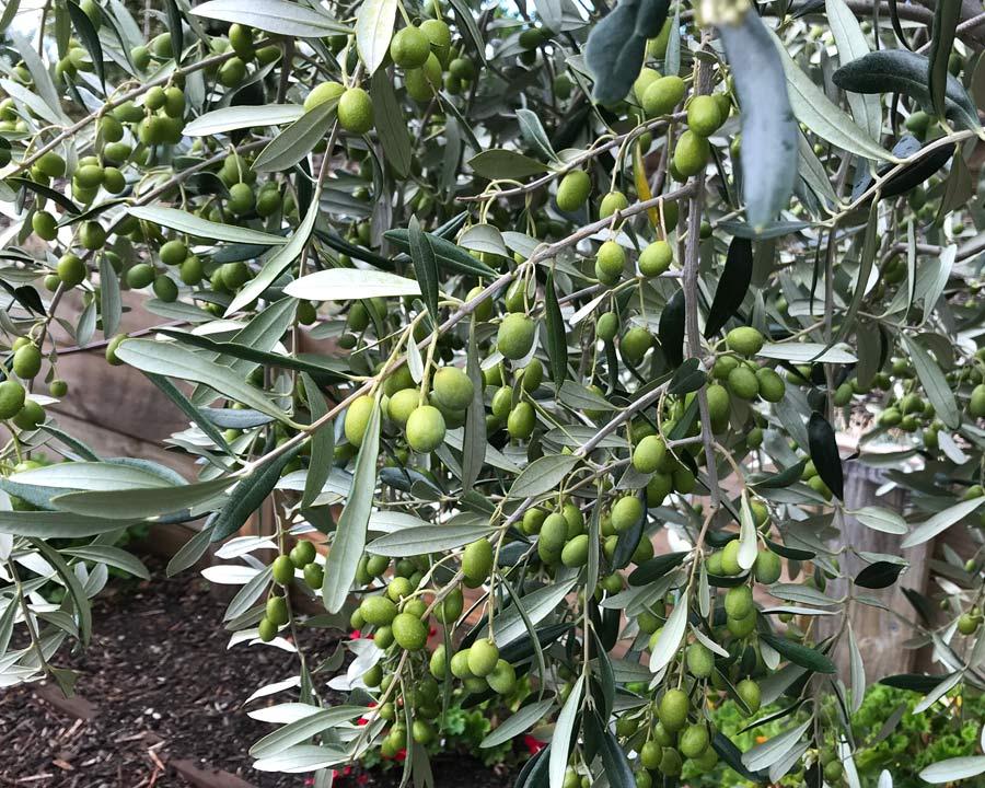Olea europaea - silver-grey foliage and green fruit