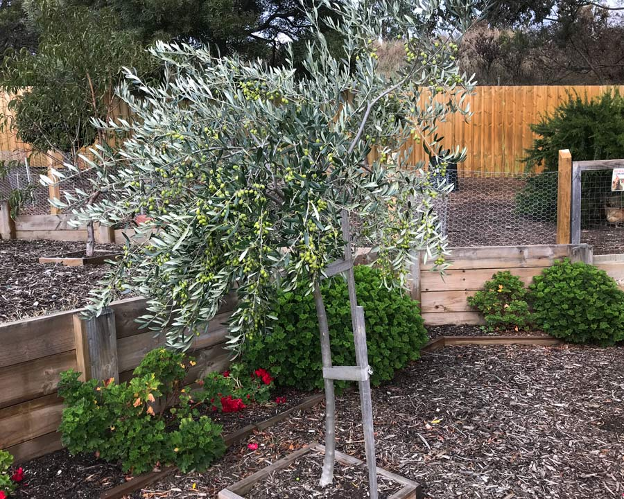 Olea europaea, the  Olive Tree.  Grown with some shade it can become quite open in habit.