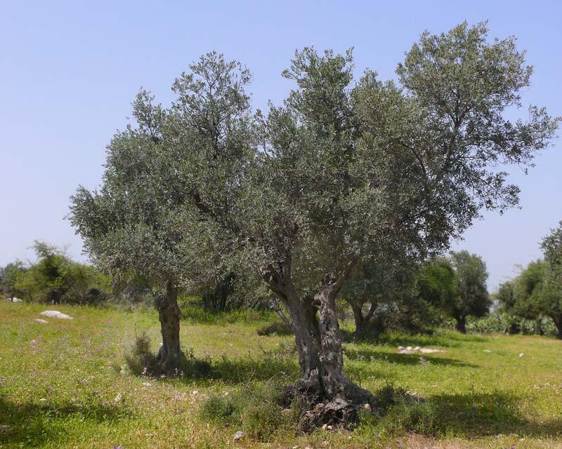 Olea europaea - full grown tree many decades old