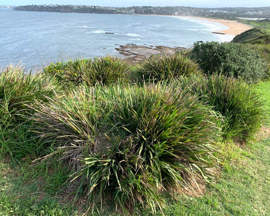 Lomandra longifolia - front line salt tolerant, growing on Long Reef Headland Sydney