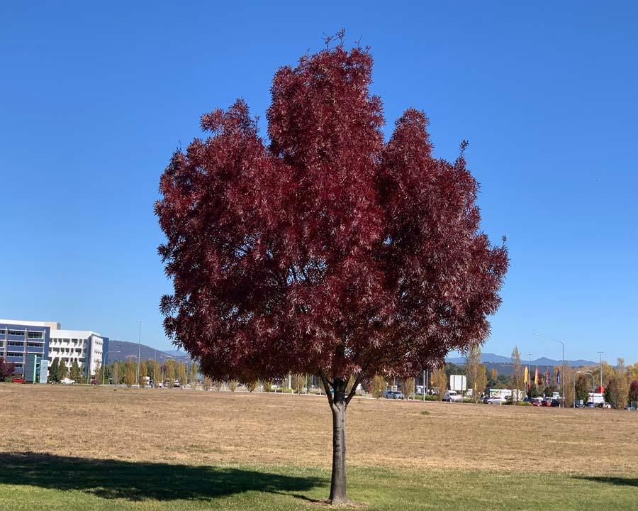 Fraxinus angustifolia 'Raywoodii'