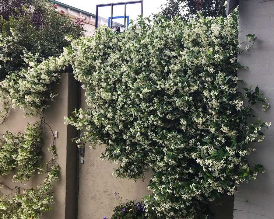 Trachelospermum jasminoides, Star Jasmine
