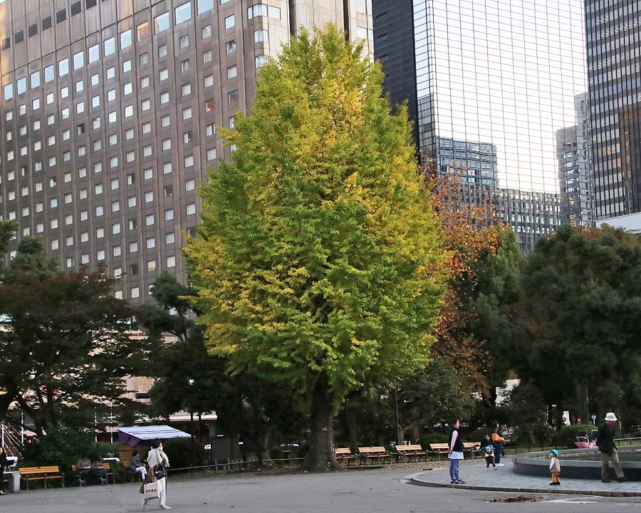 Ginkgo biloba, Maidenhair Tree - seen here in central Tokyo, where they are revered for their autumn colour.
