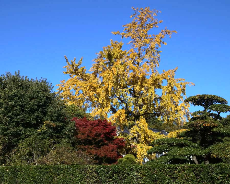 Ginkgo biloba - golden yellow in autumn, a great contributor to Japan's garden colour