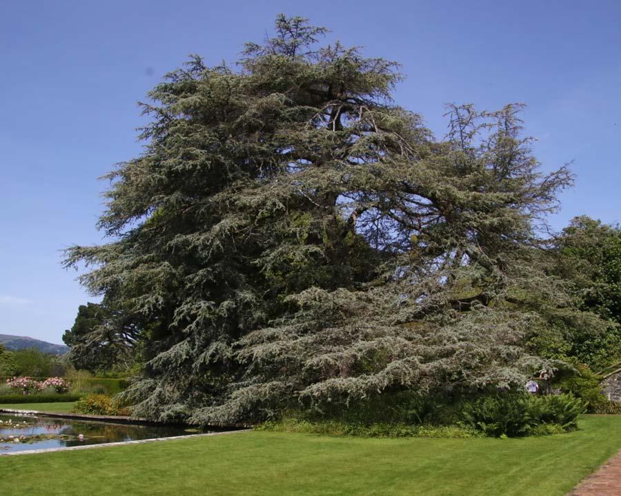 Cedrus atlantica Glauca as seen at Bodnant Gardens, North Wales