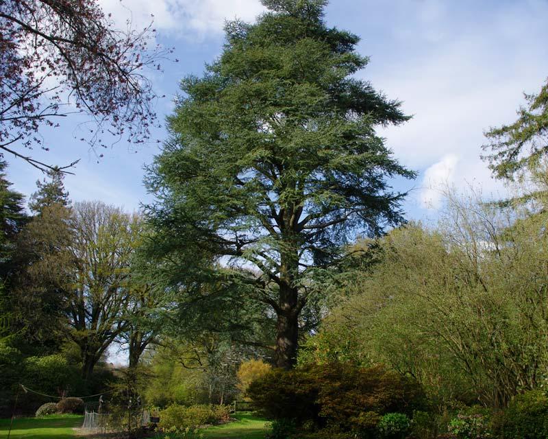 Cedrus atlantica Glauca - as seen at Ramster spring gardens near Godalming, Surrey, UK