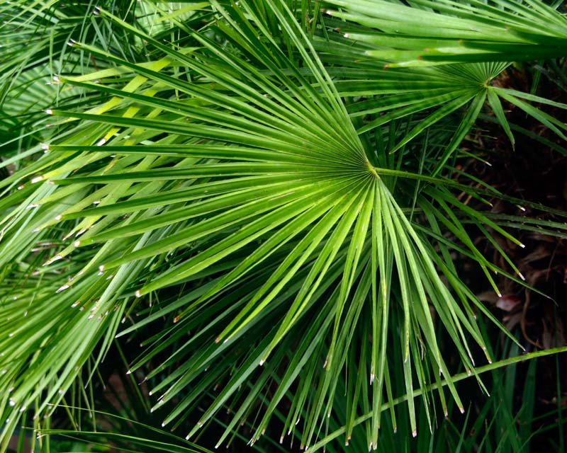 GardensOnline Chamaerops Humilis