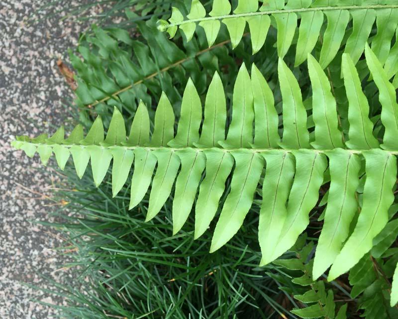 Nephrolepis Exaltata leaf 2