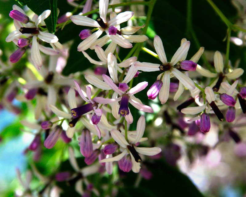 Stellate pale mauve flowers with purple stamen - Melia azedarach